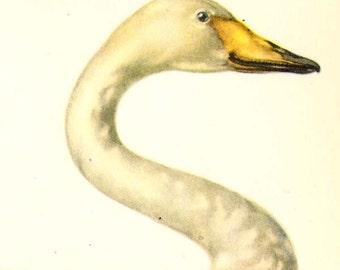 Whooper Swan Cygnus Cygnus European Water Bird Ornithology Natural History Lithograph Print 1960s Illustration To Frame 84