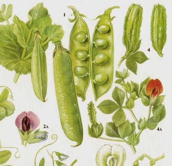 Garden Peas & Lentils Flowering Legumes Food Chart Vegetable