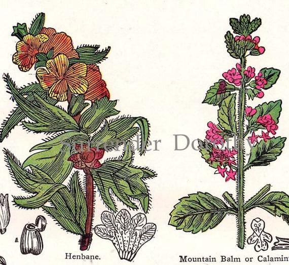Mustard Sage Catmint Henbane 1907 Healing Medicinal Plant Vintage Botanical Lithograph To Frame V