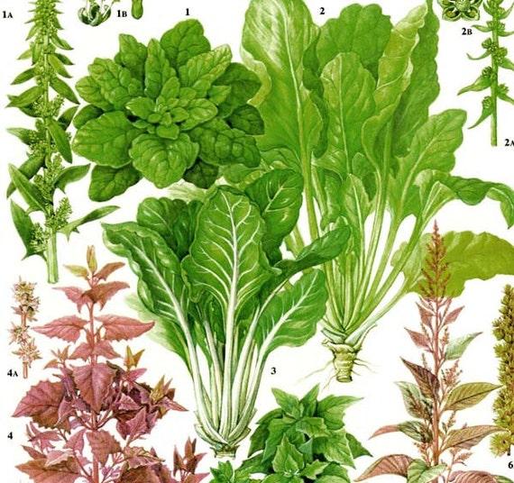 spinat mangold salat pflanzen blumen essen diagramm gem se. Black Bedroom Furniture Sets. Home Design Ideas