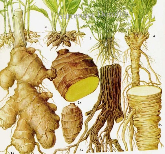 Ginger Turmeric Licorice Horseradish Chart Root Vegetable Food Botanical Lithograph Illustration For Your Vintage Kitchen 135