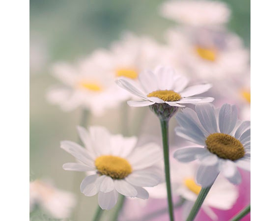 White Daisy Photography,  Flower Wall Decor,  Nature Photography, Daisy Wall Art, Nursery Decor,