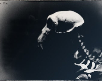 Macabre Monkey Skull  black and white photograph