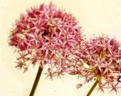 Allium photo honeysuckle pink flower for gardeners summer bloom explosion roman candles - Fireworks 8x8