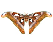 Nature photography, butterfly photograph, Atlas moth, russet brown, gold, natural history, zoological science : Atlas Shrugged 8x8