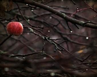 apple tree photograph, home decor, Gallery Wrap Fine Art Photograph