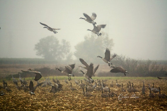 Canadian Honker Geese & Sandhill Cranes Harvested Corn field - 8 x 10 Fine Art Photography Print