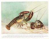 1939 Fish Print - American Lobster - Vintage Antique Nature Science Animal Art Illustration Cabin Cottage Home Decor for Framing