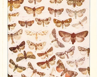 1920 Insect Print - Moths - Vintage Antique Book Plate for Natural Science or History Lover Great for Framing