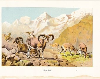 1901 Animal Print - Bharal - Vintage Antique Book Plate for Natural Science or History Lover Great for Framing 100 Years Old