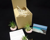 GIFT BOXED, Three Tiny Tillandsia Air Plant Sea Urchin Shells and Air Plants, Beach Decor, Wedding or Party Favors