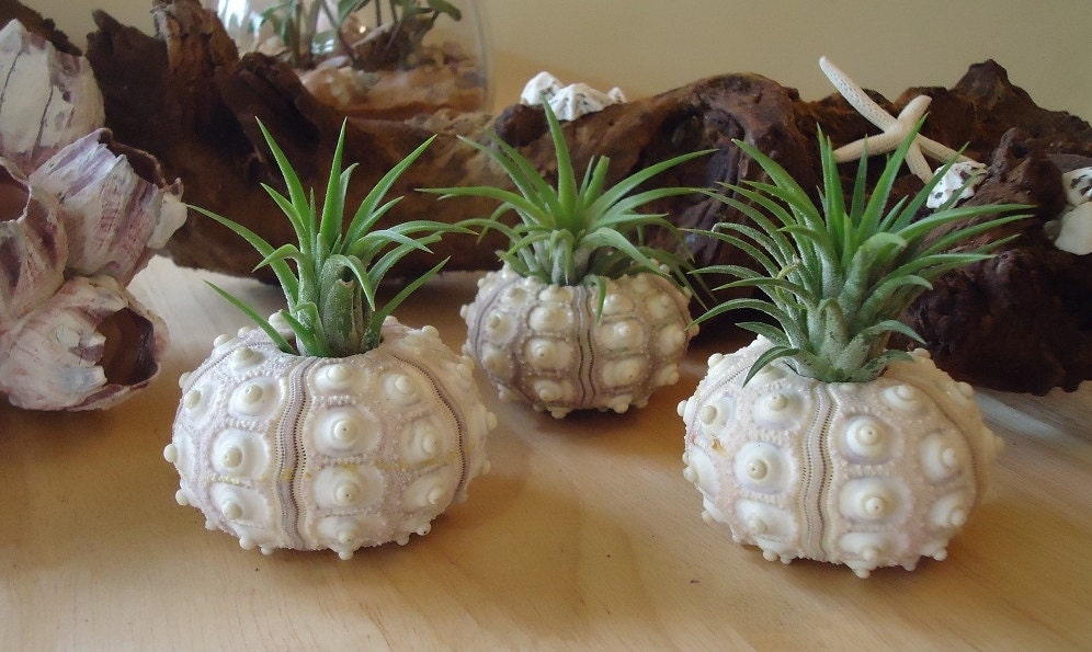taken from SucculentDESIGNS etsy page. Sputnik sea urchin use as planter for airplants