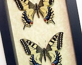 Japanese Butterfly Papilio Machaon Pair Real Framed Butterfly 498p