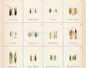 1923 Antique Chromolithograph of Grass Seeds. Millet, Timothy, Red Top, etc.