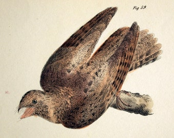 1844 Antique Hand Coloured Lithograph of Birds. Chimney Swallow, Whippoorwill, and Nighthawk