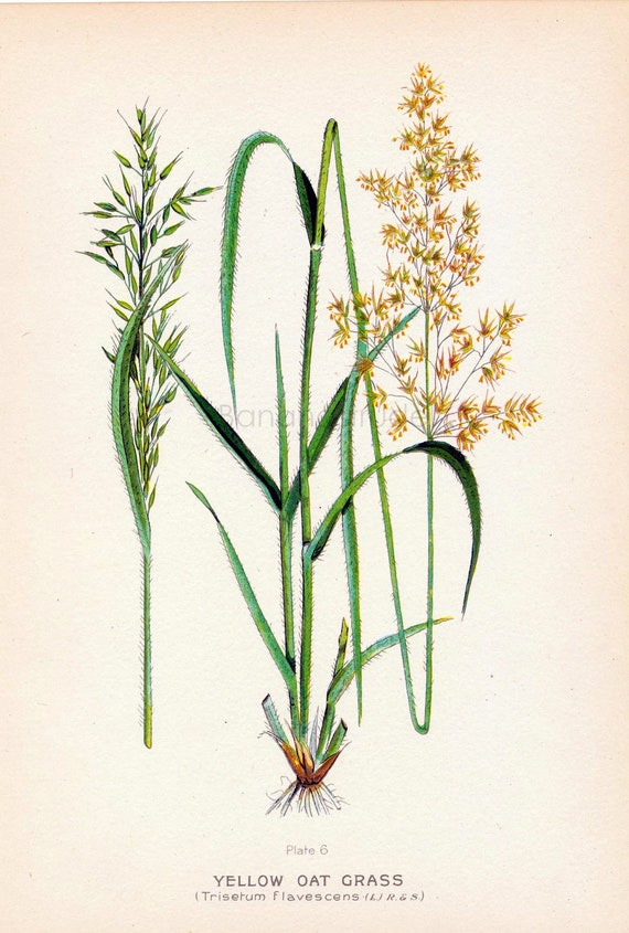 1923 Antique Chromolithograph of Fodder and Pasture Plants. Yellow Oat Grass