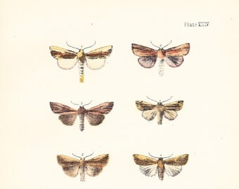 Antique Moth Print Plate XLIV . southern wainscot, smoky wainscot, common wainscot . original woodblock dated 1896