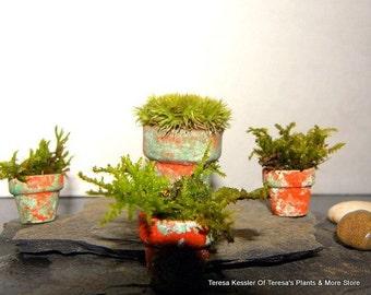 3 Miniature Assorted Live Assorted Moss -Fairy Garden Pots-Terrarium Mini Pots-2 Sizes here
