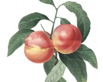Vintage French Peaches Clipart: High Resolution Printable Artwork, Commercial Use - Image No. R26 Instant Download