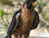 Needle Felted   Animals/Peregrine Falcon/Soft Sculpture /Made to custom order