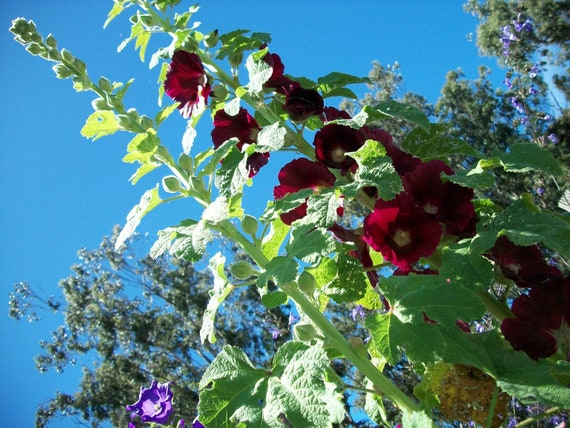 Seeds Organic Hollyhock Dark Burgundy