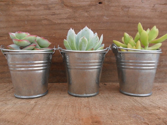 RESERVED For Brandi, 150 Succulent Wedding Favors, Silver Pails, Ship Date October 16th