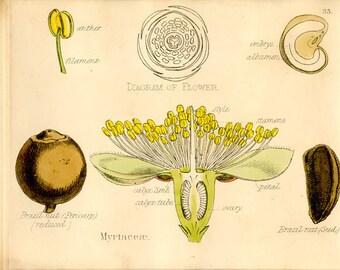 Myrtle, Antique Botanical Print, 1874, Myrtaceae, Berry, Plate 35, Natural History, Vegetable Kingdom, Hand Colored