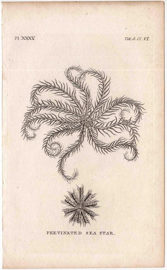 1812 sea life original antique engraving - peetinated sea star starfish