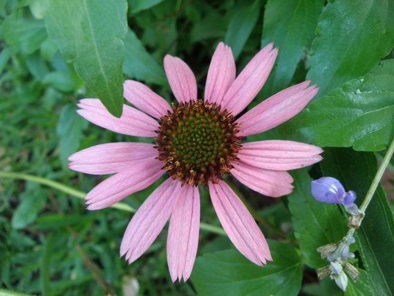 Echinacea tennesseensis Wildflower Seeds, Organically Grown