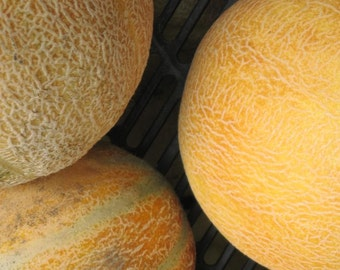 Melon, Delicious Melon - Incredibly Sweet, Flavorful Orange Flesh - Tasty & Juicy