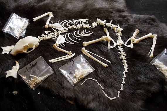 RESERVED - x1 Fox Squirrel Skeleton - Real Bone, Build-A-Critter, Taxidermy, SJ2561 - Grade A