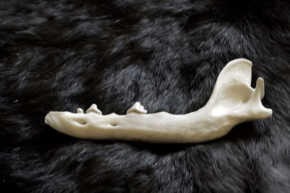 x1 Coyote Jaw Bone - Teeth Out, Real Bone, Taxidermy, B28140 - Grade A
