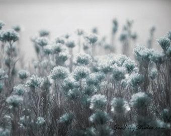 Pale Blue Light : desert flower photo nature photography sage wildflower dusty blue aqua winter home decor 8x10 11x14 16x20 20x24 24x30