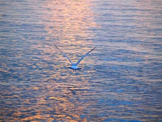 Scenery, bird photograph, Returning, Jonathan Livingston Seagull, seagull in flight, home office cottage decor, nature photograph, spiritual