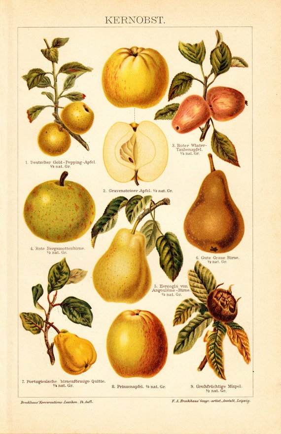 1908 Edwardian POME FRUIT print, apple, pear and quince jelly,104 years old gorgeous chromolithograph