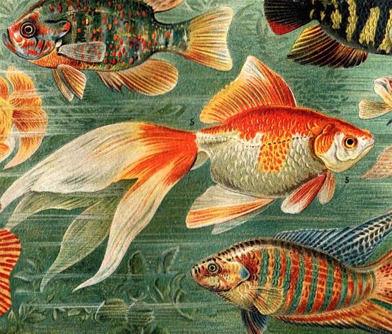 1907 Antique SEA LIFE  print, Tropical fishes aquarium, bright colors, fine lithograph