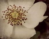Vintage Rose Photography Home Decor BOGO 10x8 Print English Rose...