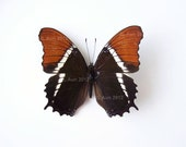 Real Butterfly Specimen, Unmounted, Ready Spread, Rusty-Tipped Page