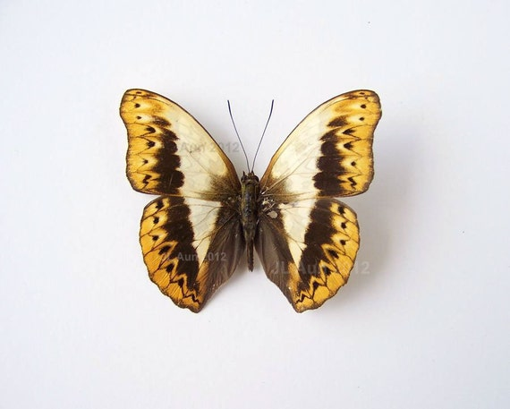 Real Butterfly Specimen Unmounted Ready Spread,  Herminia Glider