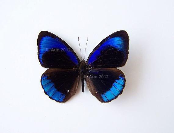 Real Butterfly Specimen, Unmounted, Ready Spread, Alcmena Purplewing