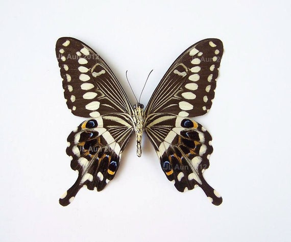 Real Butterfly Specimen Unmounted Ready Spread, The Central Emperor Swallowtail