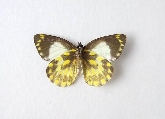 Real Butterfly Specimen, Unmounted, Ready Spread, Jezebel Butterfly