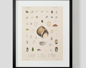 Mollusk Snails and Shells Plate 15