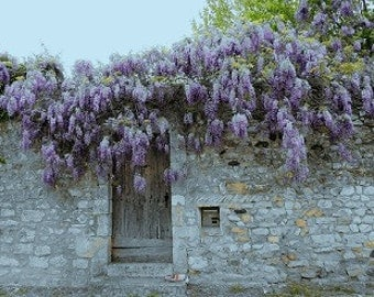 "Wisteria at Viviers France 5"" x 7"" matted Print  in mat board ready to frame"