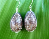 Rare Brown Cowrie Shell Sterling Silver Earrings