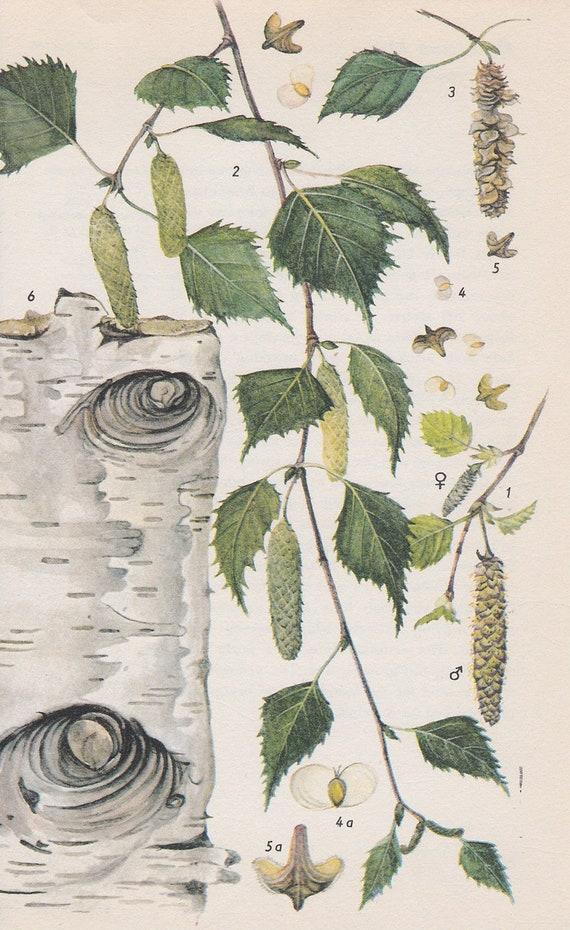 Vintage Tree Print, Silver Birch