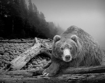 Grizzly Bear on Pebble Beach - Some Days You Eat the Bear Some Days the Bear Eats You Black and White Fine Art Wildlife Nature Photograph