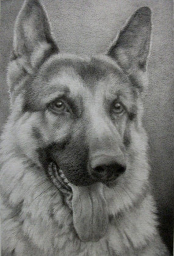 Realistic german shepherd drawing