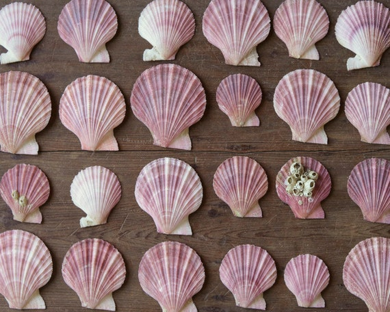 Pink Seashells - Scallop Specimens, Natural History Collection, Craft Shells - Lot of 25