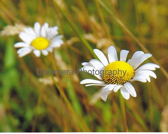Nature Photograph, Fields of Daisies, Color Fine Art Photography, 5x7 or 8x10 Print, Wildflower Garden, North Carolina Mountain Landscape